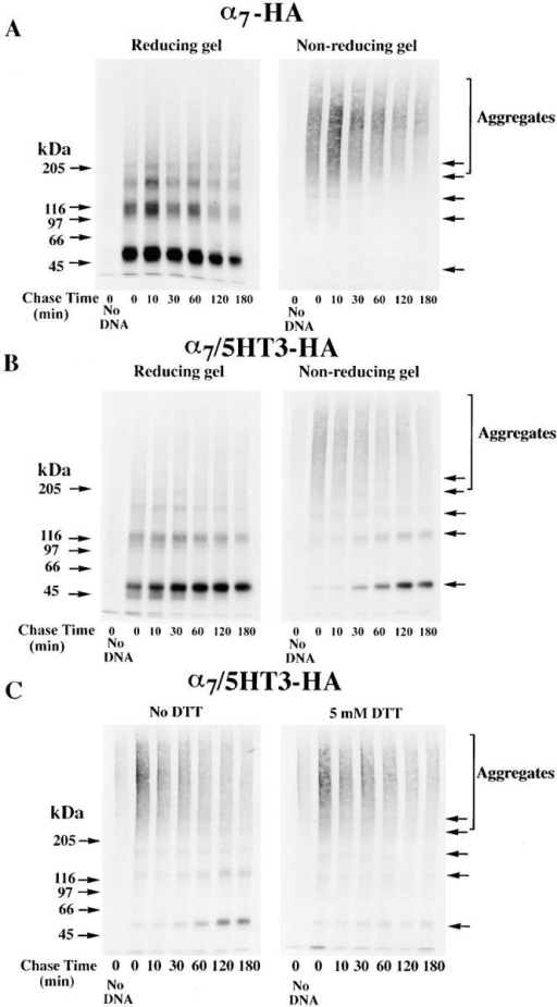 Disulfide bonding is required to effect a change in α7/5HT3 subunit redox state. (A and B) Time-dependent change in α7/5HT3-HA subunit redox state. TsA201 cells transfected with α7-HA (A) or α7/5HT3-HA (B) cDNAs were metabolically labeled for 10 min and chased for the times specified in the figure. The cells were solubilized in the absence of NEM, labeled subunits immunoprecipitated with anti-HA mAb, and samples loaded on the gels without (nonreducing) or with (reducing) 10 mM DTT. A sample from sham-transfected cells (no DNA) was run in lane 1 of each of the four gels. Arrows on the right of the figure indicate positions of putative monomer, dimer, trimer, tetramer, and pentamer α7/5HT3-HA subunit complexes. (C) Addition of 5 mM DTT to the cell medium blocks the redox state change. TsA201 cells transfected with α7/5HT3-HA cDNA were metabolically labeled for 10 min and chased for the times specified in the figure in the absence (left) or presence (right) of 5 mM DTT in the medium. Cells were solubilized in the absence of NEM and labeled subunits precipitated with anti-HA mAb. All samples were loaded on the gels without DTT, and a sample from sham-transfected cells (no DNA) was run in lane 1 (left and right). Arrows on the right of the figure indicate positions of putative monomer, dimer, trimer, tetramer, and pentamer α7/5HT3-HA subunit complexes.