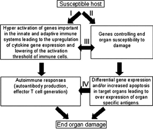 Interactive model for the pathogenesis of SLE. Pathway I, autoantibody production and activation of effector T cells and pathway II, activation of susceptibility genes and end organ damage, can be initiated independently while they interact at different levels as indicated by pathways III and IV. The interactions between these pathways lead to end organ damage.