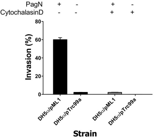 PagN-promoted invasion of epithelial cells requires actin polymerisation. E. coli DH5α harboring either pTrc99a or pML1 were induced with IPTG and incubated with CHO-K1 cells and invasion levels were measured (black bars). To assess the role of actin filament polymerisation in PagN-mediated invasion, confluent CHO-K1 monolayers were pre-incubated with cytochalasin D (1 μg/ml) for 30 min at 37°C before infection with bacteria (grey bars).