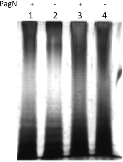 LPS profiles of pagN mutants. LPS was isolated from S. Typhimurium strains as described, electrophoresed through a 12.5% SDS-PAGE gel and the gel was silver-stained. Lane 1, SL1344; Lane 2, ML6; Lane 3, LT-2: Lane 4, MLT-2. PagN status is indicated above the lanes.
