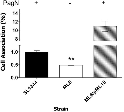Adhesion of HT-29 cells by S. TyphimuriumSL1344 and a pagN mutant. Cell association levels werecalculated for wild-type S. Typhimurium strain SL1344 andthe pagN mutant, strain ML6. Levels were also calculated for the pagN mutant harbouring the plasmid pML10 (PagN+). Data presented are averages of triplicate wells. ** indicates statistical significance, P < 0.01.