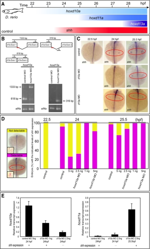 Timing of shh expression in zebrafish embryo fin primordia depends on hox transcript accumulation.(A) Schematic representation of temporal hox and shh expression in the pectoral fin primordia of zebrafish embryos. shh was expressed at 24 hpf concomitantly with hoxd10a expression. (B) RT-PCR analysis to determine the efficiency of the hoxd10a or hoxd13a splice-blocking morpholino (MO). In the schematics, arrows represent forward (F) and reverse (R) primers, and the short red bars represent the hoxd10a MO and hoxd13a MO. Lower panel, analysis of RT-PCR products by agarose gel electrophoresis. Products of 618 bp and 1333 bp represent spliced and unspliced hoxd10a mRNA, respectively. The 316-bp RT-PCR product represents spliced hoxd13a mRNA. Amplification of eif4a cDNA was used as a control. (C) Whole-mount in situ hybridization to detect shh expression in the pectoral fin primordia of D. rerio embryos injected with 5 ng control MO (top panels), 5 ng hoxd10a MO (middle panels) or 5 ng hoxd13a MO (bottom panels) at the indicated hpf. Red ovals highlight the pectoral fin primordia. Note that shh expression was first observed at 24 hpf in the fin primordia of embryos injected with control (top) or hoxd13a MO (bottom), whereas shh transcripts became detectable at 25.5 hpf in the primordia of most embryos injected with hoxd10a MO (middle). (D) Percentages of embryos with detectable or undetectable levels of shh expression observed at 22.5, 24, and 25.5 hpf following injection of control MO, hoxd10a MO or hoxd13a MO (see also Figure S4). A representative image depicting the detectable or undetectable levels of shh expression in the pectoral fin primordia is shown at the left. Insets show high magnification views of pectoral fin primordia. (E) Semi-quantitative RT-PCR analysis to determine the expression levels of 5′ hoxd when shh is transcribed in pectoral fin buds. The relative levels of hoxd10a and hoxd11a transcripts in the lateral plate mesoderm of morphants were quantified. Relative expression was normalized against gapdh transcripts.
