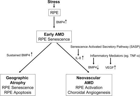 Diagramillustrating the progression of early age related macular degeneration(AMD) into 2 divergent late stages and the potential role of BMP4 as aswitch between these pathways. Chronic stressors such as oxidative stresscan promote the expression of BMP4 in the retinal pigment epithelium (RPE)and induce RPE senescence as part of the phenotype of early AMD. If BMP4expression is sustained, it could lead to RPE apoptosis and geographicatrophy. In other individuals, activation of the senescence activatedsecretory pathway and expression of pro-inflammatory mediators could resultin increased expression of interleukin (IL)-8, decreased expression of BMP4and increased expression of vascular endothelial growth factor (VEGF)resulting in neovascular AMD with choroidal angiogenesis.