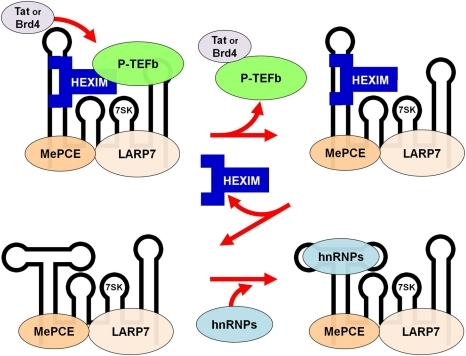 Model of P-TEFb and HEXIM1 release from the 7SK snRNP.P-TEFb is directly extracted from the 7SK snRNP by Tat or Brd4. This leads to the loss of P-TEFb, a destabilization of the 7SK structure resulting in a conformational change in the RNA that causes HEXIM1 to be released from the 7SK snRNP. hnRNP proteins then bind to the region of RNA unmasked by the loss of HEXIM1.