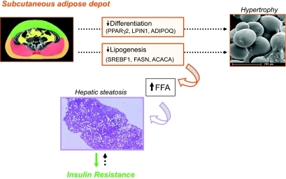 Schematic representation of the proposed interactions among size of the subcutaneous fat depot, adipogenesis/lipogenesis, and cell size in the subcutaneous adipose tissue, plasma lipid level, hepatic steatosis, and insulin resistance. (A high-quality digital representation of this figure is available in the online issue.)
