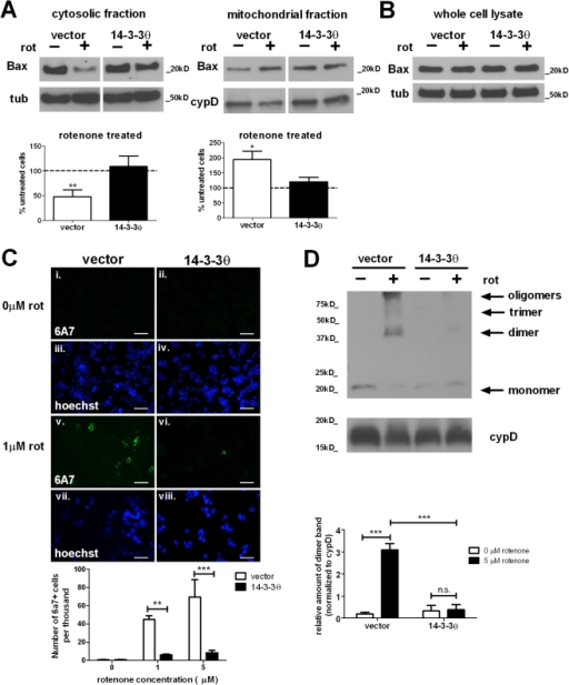 Rotenone-induced Bax activation is reduced in 14-3-3θ-overexpressing cells.a) Less Bax translocated to mitochondria in 14-3-3θ cells in response to rotenone. After treatment with 5 µM rotenone for 24 hours, vector control and 14-3-3θ cell lysates were subfractionated into cytosolic and mitochondrial fractions and immunoblotted with a polyclonal rabbit antibody against Bax. For each fraction, lanes for vector control and 14-3-3θ cells are from the same gel and exposure time but are separated for clarity with regard to quantification. Bax levels were normalized to tubulin for the cytosolic fraction or cyclophilin D for the mitochondrial fraction. Bax levels for rotenone-treated cells are shown as the relative percentage of the corresponding untreated cells. Densitometric quantification included seven separate experiments. Error bars reflect SEM. *p<0.05, **p<0.01 (one sample t-test). b) Total Bax levels were unchanged with rotenone treatment in either cell line. After treatment with 5 µM rotenone for 24 hours, whole cell lysates were immunoblotted with an anti-Bax antibody. c) Fewer 14-3-3θ cells were positive for activated Bax upon rotenone treatment. After treatment without (i-iv) or with rotenone (v-viii) for 16 hours, vector control and 14-3-3θ cells were fixed in 2% paraformaldehyde and immunostained with a monoclonal mouse antibody against the active Bax conformation (6A7) and a goat Alexa 488-conjugated anti-mouse secondary antibody (i, ii, v, vi). Nuclei were stained with Hoechst 33342 (iii, iv, vii, viii). The number of 6A7-positive cells was quantitated with rater blind to experimental conditions. Error bars reflect SEM. **p<0.01, ***p<0.001 (Bonferroni's multiple comparison test). Scale bar  = 50 µm. d) Rotenone-induced Bax oligomerization was reduced in 14-3-3θ cells. Vector control and 14-3-3θ stable cells were treated with 5 µM rotenone for 24 hours. Mitochondrially-enriched fractions were crosslinked and immunoblotted for oligomers with an anti-Bax antibody. Cyclophilin D served as loading control. Densitometric quantification includes three independent experiments. Error bars reflect SEM. ***p<0.001 (Bonferroni's multiple comparison test). n.s.  =  non-significant.