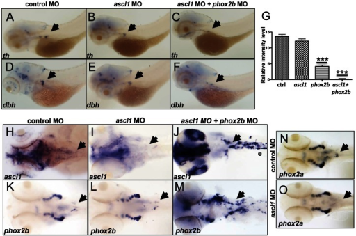 phox2b, but not ascl1, is indispensable for sympathetic neuronal differentiation.(A–F) Whole-mount ISH of 3-dpf embryos for th and dbh following ascl1 MO knockdown. Lateral views depict a minimal decrease in expression of th (A,B) and dbh (D,E) in ascl1 MO-injected embryos compared to control MO-injected (A,D) embryos. Simultaneous knockdown of both ascl1 and phox2b led to a significant decrease in expression of th and dbh in the SCG (C,F). (G) Relative intensity levels of dbh-staining in the SCG of embryos expressing ascl1 MO, phox2b MO or the combination of the two. Data are presented as means ± SEM (***P<0.001; n = 15 per group). (H–M) Whole-mount ISH for expression of ascl (H–J) and phox2b (K–M) in embryos in which ascl1 expression was abrogated by MO knockdown, either singly (I, L) or in combination with phox2b (J, M). (N,O) Whole-mount ISH for phox2a expression in 4-dpf embryos in which ascl1 expression was abrogated by MO knockdown. Arrows point to region of SCG.