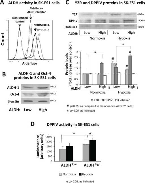 The Y2R/Y5R/DPPIV system is preferentially activated in ALDHhigh ES CSCsA. SK-ES1 cells were cultured in normoxia or hypoxia for 24h, stained with Aldefluor, and ALDH activity was measured by FACS. The non-stained cells or the cells incubated with Aldefluor in the presence of ALDH inhibitor, DEAB, served as negative controls. B. SK-ES1 cells were stained with Aldefluor and FACS-sorted based on the ALDH activity into ALDHhigh (upper 8% of cells) and ALDHlow (lower 10% of cells) cells. The levels of ALDH-1 protein and stem cell marker, Oct-4, were compared by Western blot in soluble protein fractions of ALDHhigh and ALDHlow cells, to confirm the efficiency of cell sorting. C. ALDHhigh and ALDHlow cells were cultured for 24h in normoxia and hypoxia. Protein levels of Y2Rs and DPPIV were detected in cell membrane fractions isolated from these cells by Western blot. Flotillin-1 served as a loading control. Protein levels from 4 independent experiments were quantified by densitometry. D. DPPIV activity was measured in the above cell membrane fractions via luminescent method.