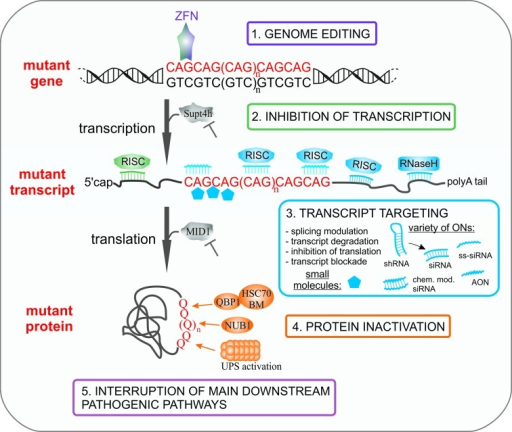 Strategies directed at the elimination of toxic entities in polyQ diseases. The main steps of mutant gene expression at which therapeutic intervention may be applied are indicated. The possible interventions include: 1. editing the CAG expansion in the mutant gene, 2. inhibiting mutant gene transcription, 3. interacting of potential drugs with mutant transcript leading to its degradation or inhibition of translation, 4. inactivating the mutant protein by its degradation or blockage and 5. targeting the main downstream pathways. See the text for more details.