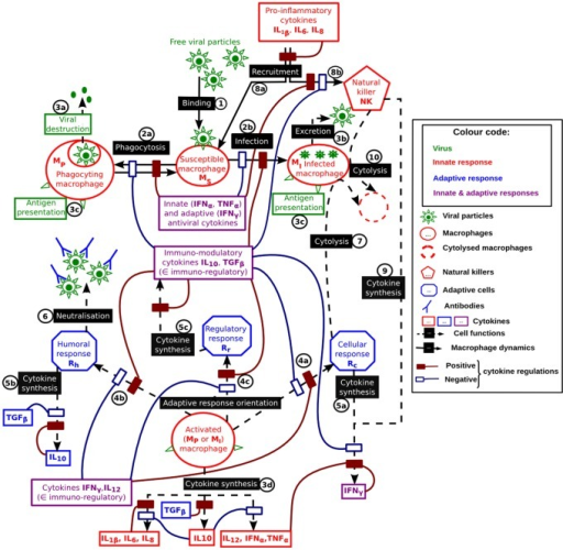 Functional Diagram Of The Immune Response To A Virus Ta Open I