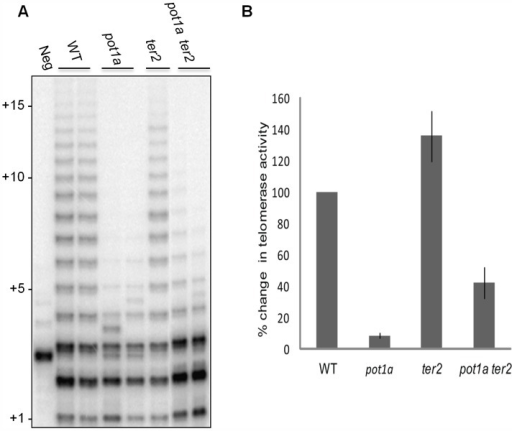 POT1a stimulates telomerase activity of the TER1 RNP.(A) TP-TRAP analysis from two independent biological replicates wild type, pot1a, ter2, and pot1a ter2 mutants. (B) Results of quantitative TRAP (qTRAP). Error bars represent standard error of the mean from three biological replicates.