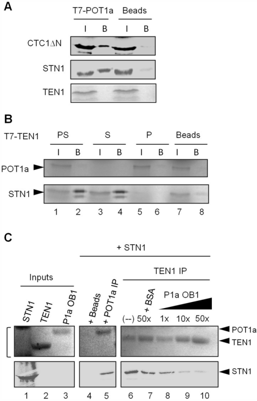 "POT1a associates with CTC1 and STN1 in vitro.(A) In vitro co-immunoprecipitation (co-IP) results for RRL-expressed T7-tagged POT1a interactions with labeled CTC1ΔN, STN1, and TEN1. Negative control (beads conjugated with T7-tag antibody) was performed without tagged POT1a. (I) denotes protein input, (B) indicates bound protein. (B) Co-IP results for RRL-expressed T7 tagged TEN1 with labeled POT1a (P; lane 6), STN1 (S; lane 4) or both proteins (""PS"", lane 2). The beads control contained no T7 tagged TEN1 (lane 8). (C) In vitro Co-IP competition assay using E. coli-expressed TEN1 and POT1a OB1 detected by coomassie stain, and RRL-expressed 35S methionine labeled STN1 detected by autoradiography. Protein inputs are shown in lanes 1–3. Bracket adjacent to lane 1 denotes non-specific RRL proteins in the STN1 expression reaction (lane 1, top). TEN1 was incubated with STN1 and increasing concentrations of POT1a OB1 (lanes 8–10). 50× BSA was used as a control (lane 7) IP of POT1a was performed independently to verify its interaction with STN1 (lane 5). Beads alone was used to monitor background binding of STN1 protein (lane 4)."