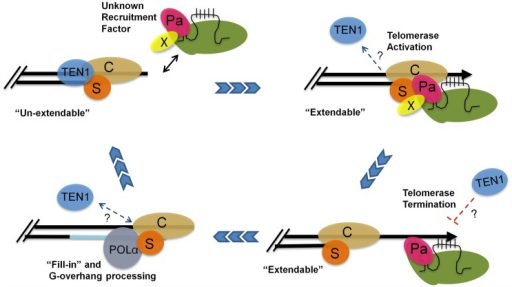A model for telomere replication in Arabidopsis.In the un-extendable state, telomeres are bound by the heterotrimeric CST complex. The telomerase RNP is positioned at the chromosome terminus by an unknown recruitment factor (X) during S phase. TEN1 is displaced. POT1a (Pa) contacts STN1 (S) and CTC1 (C) to promote a telomere extendable state. POT1a also stimulates telomerase enzymatic properties. TEN1 represses telomerase activity and thus may help to terminate telomerase action. Telomerase is removed and replaced by POLα for C-strand fill-in and terminal DNA processing. The telomere is then converted into an un-extendable state.