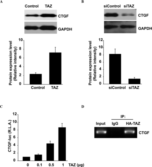 Overexpression of TAZ upregulates connective tissue growth factor (CGTF) expression while knockdown of TAZ downregulates it. (A) Overexpression of TAZ increased the expression levels of CTGF in SK-N-SH cells compared with those in the controls. (B) Knockdown of TAZ repressed the expression of CTGF in SK-N-BE(2) cells compared with that in the control. (C) The indicated plasmids were coexpressed in 293 cells. Cells were harvested for measurement of luciferase activity 24 h after transfection. (D) A chromatin immunoprecipitation assay was performed with anti-human influenza hemagglutinin (HA) antibody using 293 cells expressing HA-TAZ. The presence of CTGF promoter was detected by polymerase chain reaction.