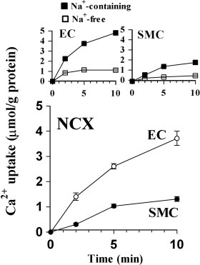 Time course of NCX activity in EC and SMC. A. 45Ca2+ uptake by Na+-loaded EC or SMC from Na+-free and Na+-containing solutions. B. NCX-dependent 45Ca2+ uptake in EC and SMC defined as difference between the uptake in Na+-free and Na+-containing solutions in A.