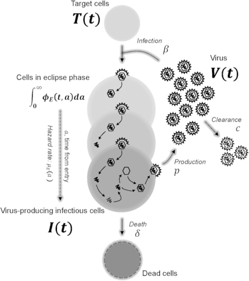 A schematic representation of the mathematical model. After a virion, , successfully enters and infects a susceptible target cell, , at infection rate, , the newly infected cell progresses through different stages of cell populations, , which are structured according to the time elapsed, , since virus entry. Each of these stages has a corresponding age-dependent hazard rate, , for the probability that the newly infected cell in the eclipse phase transitions to the infectious state (i.e., becomes infectious, ) and begins virus production. An infectious, virus-producing cell, , produces progeny virions at constant rate , and dies at rate . The virions are cleared at rate .