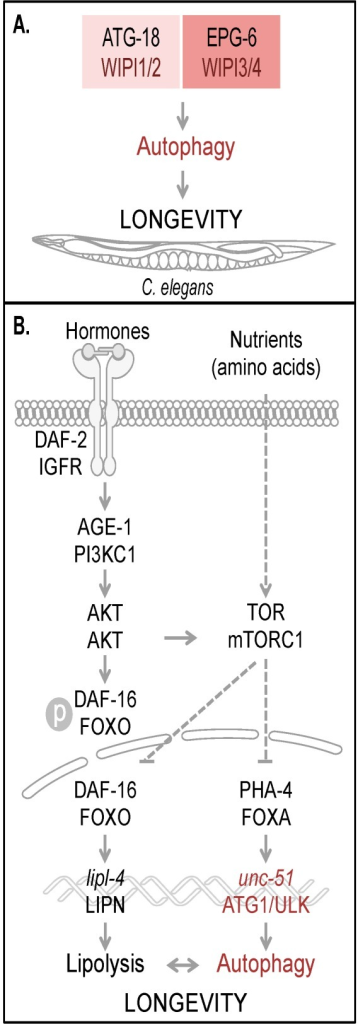 Autophagy and longevity control in C. elegans. The four human WIPI proteins are represented by two homologues, ATG-18 (homologue of WIPI1 and WIPI2) and EPG-6 (homologue of WIPI3 and WIPI4) in C. elegans, both of which are considered to be required for autophagy-controlled longevity (A). Hormones and nutrients (e.g. amino acids) control both autophagy and longevity in C. elegans (B). Upon hormone binding to and dimerization of DAF-2, the C. elegans orthologue of mammalian insulin/IGF-1 receptor (IGFR), AKT (also AKT in mammals) is activated via AGE-1 (PI3KC1 in mammals) to phosphorylate the transcription factor DAF-16. Phospho-DAF-16 is unable to localize to the nucleus. In the absence of AKT-mediated phosphorylation, DAF-16 localizes to the nucleus and fulfills its transcriptional transactivation activity on a large subset of genes controlling stress resistance and survival, by upregulation of mediators required for detoxification, anti-inflammation and lipolysis (lipl-4, LIPN in mammals). DAF-16 is further critically controlled by TOR (mTOR in mammals, a well-known target of AKT-mediated signaling). Upon nutrient availability (e.g. amino acids), TOR inhibits both transcription factors DAF-16 and PHA-4 (FOXA in mammals). Subsequently unc-51 (ATG1 in yeast and ULK in mammals) transcription is inhibited, preventing full autophagic activity. Interdependently, lipolysis and autophagy control longevity in C. elegans. The schematic drawings of C. elegans, plasma membrane, receptor, nuclear envelope and DNA were obtained from Motifolio.