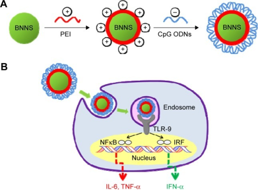 Schematic illustration of the process for preparation and application of the PEI-functionalized BNNS as an efficient CpG ODNs carrier.Notes: (A) Preparation of the PEI-functionalized BNNS for CpG ODNs loading. (B) Application of the PEI-functionalized BNNS as a carrier for enhancing the immunostimulatory effects of the CpG ODNs.Abbreviations: BNNS, boron nitride nanospheres; IFN, interferon; IL-6, interleukin-6; IRF, interferon regulatory factor; NFκB, nuclear factor κB; ODN, oligodeoxynucleotide; PEI, polyethyleneimine; TLR-9, Toll-like receptor 9; TNF, tumor necrosis factor.