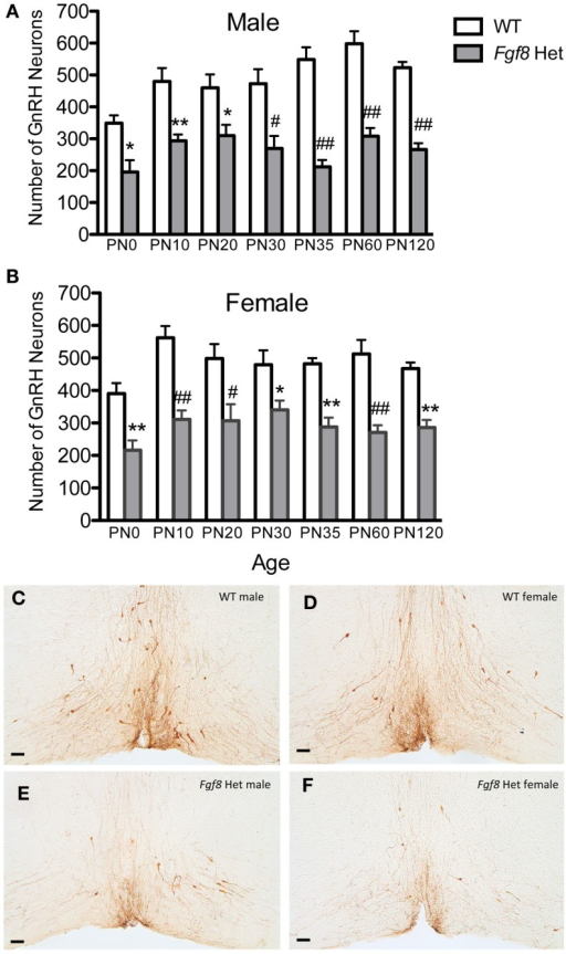 Number of GnRH neurons in PN0–120 male (A) and female (B) WT and Fgf8 Het mice. In both sexes, GnRH neuron numbers in Fgf8 Het mice were consistently reduced compared to WT at all ages examined. Each bar = mean ± SEM; N = 5–6. *P < 0.05; **P < 0.01; #P < 0.001; ##P < 0.0001 compared to WT of the same age. (C–F) Representative photomicrographs of GnRH IHC at the plane of OVLT in PN35 WT (C,D) and Fgf8 Het (E,F) male and female mice. Scale bar = 50 μm.