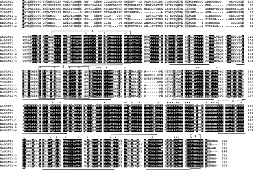 Sequence alignment of deduced amino acid sequences of four B. napus DGAT1 candidates (BnDGAT1-1 to BnDGAT1-4) and DGAT1 proteins from Arabidopsis thaliana (At), Ricinus communis (Rc), Olea europaea (Oe) and Theobroma cacao (Tc). Nine predicted transmembrane domains are underlined. Boxed regions are (1) acyl-CoA binding or active site, (2) thiolase acyl-enzyme binding signature, (3) DAG binding site and (4) ER retention/retrieval. Black and grey backgrounds indicate 100% and 75% conservation, respectively, among the eight sequences shown. Asterisks indicate residues conserved more widely among DGAT1 proteins (refer to text for details).