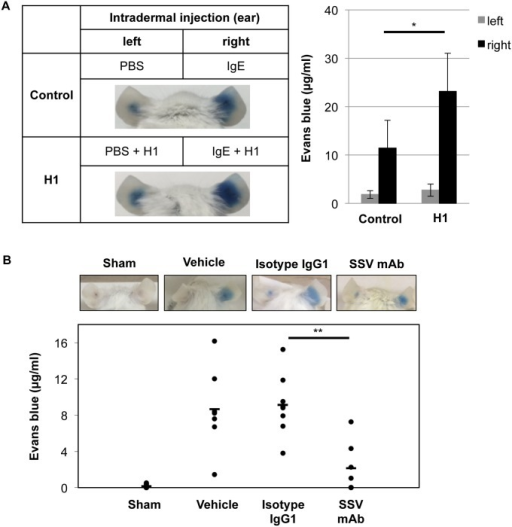 Enhancement and inhibition of IgE-mediated PCA reaction by histone H1 and histone H1-targeted SSV mAb.(A) PBS and anti-DNP IgE (150 ng/10 μl) with/without calf thymus histone H1 (5 μg) were intradermally injected into the left and right ears, respectively (n = 3 per group). After 24 hrs, DNP-HSA (200 μg) with evans blue solution (1%) was injected intravenously via tail vein to induce anaphylaxis. After 30 minutes, evans blue extravasation in the ears was observed. The pictures are representative of three individuals in each group. Data are representative of three independent experiments and represented as the mean ± S.D. *, P<0.05 versus the control group. (B) PBS and anti-DNP IgE (150 ng/10 μl) were intradermally injected into the left and right ears, respectively. As a sham control (n = 8), PBS was injected intradermally in both left and right ears. After 23 hrs, PBS (vehicle; n = 7), isotype IgG1 (n = 8) or SSV mAb (n = 7) was intravenously injected via tail vein. One hr later, DNP-HSA (200 μg) with evans blue solution (0.5%) was injected intravenously via tail vein to induce anaphylaxis. After 30 minutes, evans blue extravasation in the ears was observed. The pictures are representative of seven to eight individuals in each group. Each symbol indicates an individual mouse, and bars show the mean values. **, P<0.01 versus the isotype IgG1-injected group.