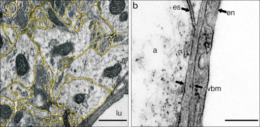 Extracellular space in grey matter of the hippocampus and its connection to capillary basement membrane. a Grey matter with the extracellular space outlined in yellow. There is a capillary in the bottom left-hand corner. Capillary lumen (lu). b High-magnification view of the junction of the extracellular space (es) with the capillary basement membrane (cvbm) at the level of the astrocyte membrane. Endothelial cell of the capillary (en); astrocyte of the glia limitans (a). Scale barsa 500 nm; b 250 nm
