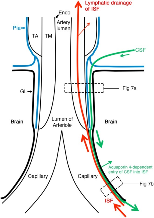 Schematic representation of the lymphatic drainage and convective influx/glymphatic systems of the brain. An artery enters the brain from the subarachnoid space and an arteriole divides into capillaries. At the top of the figure, the artery is lined by endothelium (Endo), and coated by the tunica media (TM) composed of smooth muscle cells and by the outermost tunica adventitia (TA) composed of connective tissue. As it enters the brain, the artery loses the tunica adventitia but is still coated by a layer of pia-arachnoid (Pia) that intervenes between the artery and the glia limitans (GL) of the brain. As the arteriole divides into capillaries, the tunica media and the layer of pia mater are lost. Thus, at the level of the capillary, the glia limitans is in direct contact with the wall of the capillary. On the right-hand side of the diagram, the red arrows indicate the intramural perivascular lymphatic drainage pathway by which interstitial fluid (ISF) and solutes pass out of the brain along basement membranes in the walls of capillaries and along basement membranes surrounding smooth muscle cells in the tunica media of arterioles and arteries [7]. Tracers in the CSF enter the brain along the pial-glial basement membrane between the pia mater and the glia limitans (indicated by a green arrow) and enter the brain parenchyma and interstitial fluid by an aquaporin 4-dependent mechanism, which is the convective influx/glymphatic pathway