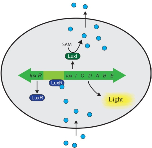 Diagram Of The Lux Operon And Its Regulation Direction Open I