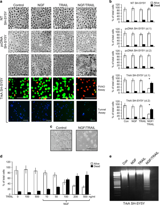 NGF sensitizes TrkA SH-SY5Y cells to TRAIL-induced apoptosis. (a) Representative phase contrast and fluorescent micrographs (bar=100 μM) and (b) histograms demonstrating the marked induction of TrkA SH-SY5Y but not NT or pcDNA SH-SY5Y cell death following 16 h of incubation with NGF (100 ng/ml) plus TRAIL (200 ng/ml), compared with the lack of cell death in all three cell lines following overnight (16 h) incubation with either NGF (100 ng/ml) or TRAIL (200 ng/ml) alone. Results are displayed as the mean percentage (%) of alive (white) and dead (black) cells (±S.D.) in three independent experiments each performed in duplicate (*statistical significance). (c) Representative phase contrast micrographs demonstrating the effect of NGF plus TRAIL on the morphology of surviving TrkA SH-SY5Y cells. (d) Histogram demonstrating dose-dependent induction of TrkA SH-SY5Y cell death by TRAIL (10–500 ng/ml) in the presence but not absence of NGF (100 ng/m). Results are displayed as the mean percentage (%) (±S.D.) of alive (white) and dead (black) cells in three independent experiments each performed in duplicate. (e) Representative ethidium bromide stained agarose gel demonstrating laddering of DNA purified from TrkA SH-SY5Y cells treated for 16 h with NGF (100 ng/ml) plus TRAIL (200 ng/ml) but not from TrkA SH-SY5Y cells treated with either NGF (100 ng/ml) or TRAIL (200 ng/ml) alone.