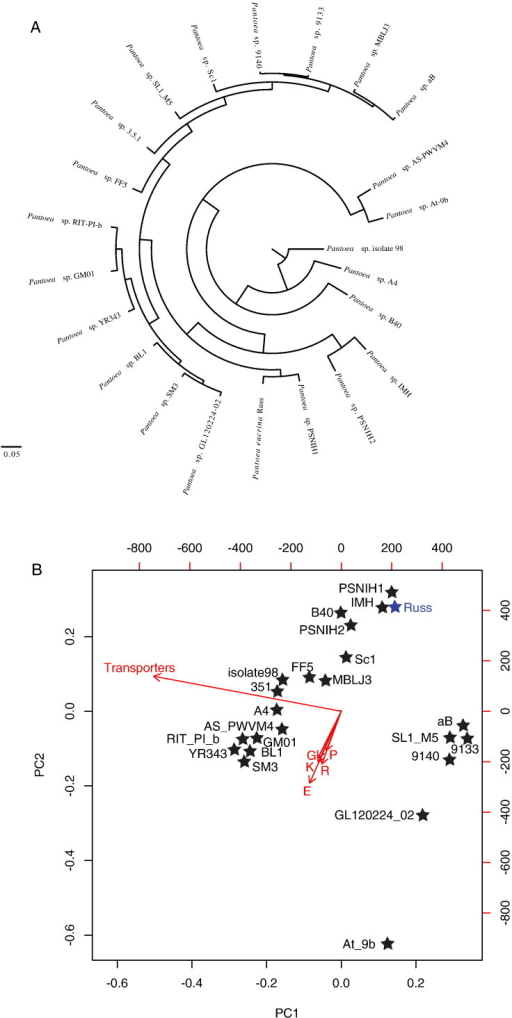 Comparative genomics of Pantoea eucrina strain Russ and 21 closely related genomes. (A) KEGG profile clustering of the genomes compared in this study. (B) PCA biplot of the genomic features and COG category distribution in the genomes compared. Genomes are represented by stars, where the strain name is depicted. Arrows represent genomic features or COG categories used for comparison. The arrow directions follow the maximal abundance, and their lengths are proportional to the maximal rate of change between genomes. The first two components explained 75% of variation.