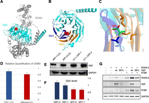 Effect of S81L mutation on protein expression of Gβ5 and RGS9-2 complex. aCartoon representation of RGS9-Gβ5 complex crystal structure (PDB ID:2PBI) with S81L mutation shown in the red sphere. RGS9 and Gβ5 are shown in gray and cyan, respectively. bCartoon representation of Gβ5 alone (PDB ID:2PBI) with S81 mutation shown in the red sphere. Residue S81 is present on β-strand S2β2 of WD1 repeat. WD1 and the neighboring WD2 repeats are represented in blue and orange, respectively. c The hydrogen bond formation of side chain of S81 (red) with backbone of V108 (orange) is shown as a dotted black line. The substituted residue L81 (green stick) will not be able to form a hydrogen bond; instead its bulkier side chain will have steric clashes with neighboring amino acids (V87, V108, C111, and C122 represented in stick). All structural representations are made using PyMOL software https://www.pymol.org. d Summary of three qRT-PCR experiments (each performed in triplicates) using patient and control LCL to determine the relative abundance of GNB5 in patient vs. controls showing no significant difference (two-tailed t-test p value 0.67). e, fWestern blot analysis of GNB5 expression in patient lymphoblastoid cells compared to normal control. gImmunoblot analysis of protein expression in HEK293T/17 cells. RGS9-2, Gβ5, and R7BP were expressed in different combinations. The proteins extracted from the transfected cells used in BRET assay were subjected to immunoblot analysis using the indicated specific antibodies. Anti-GAPDH antibody was used as a loading control. Representative experiment out of three independent evaluations is shown