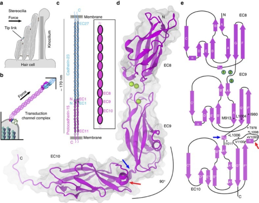 Hair-cell mechanotransduction and structure of PCDH15.(a) Schematic representation of a cochlear hair-cell stereocilia bundle highlighting the location of the tip link. (b) Mechanotransduction apparatus. PCDH15 directly conveys force to transduction channels. (c) The tip link is formed by the tip-to-tip interaction between CDH23 and PCDH15 parallel dimers25. Inset shows the location of the repeats studied here. (d) Ribbon diagram of PCDH15 EC8–10. Calcium ions in the EC8–9 linker are shown as green spheres. The calcium-free EC9–10 linker is bent. (e) Topology diagram of PCDH15 EC8–10. A typical cadherin fold with seven β strands (labeled A to G) is observed for all EC repeats. The structure shows a novel EC9–10 310 helix (blue arrow) at the EC9–10 linker and an atypical EC10 FG-α loop (red arrow). Residues that form the EC9–10 interface are highlighted with an asterisk (*).