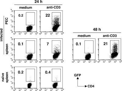 In vitro induction of IL-10 expression in IL-10− CD4+ T cells from infected mice. CD4+CD44+ GFP− lymphocytes were purified by FACS from peritoneum and spleen of day 7–infected IL-10 GFP knock-in tiger mice (n = 2–3) and cultured in medium alone or in the presence of anti-CD3 mAb. Control cultures consisted of anti-CD3–stimulated CD4+ T cells isolated from uninfected tiger mice. Induction of GFP expression was examined at 24 h after initiation of cultures and at 48 h for splenic population from infected animals. The results shown are representative of two experiments performed.