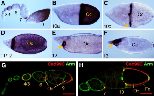 Expression of Cad99C during oogenesis. (A–F) Distribution of Cad99C mRNA in egg chambers at different stages of oogenesis. Arrows point to centripetal follicle cells in C, micropyle-forming follicle cells in E, and dorsal appendages in F. (G and H) Cad99C protein (red) is found on the apical surface of follicle cells (Fc) and from stage 6 onward is only seen in follicle cells that contact the oocyte (Oc). Armadillo (Arm; green) labels the membranes of germline and follicle cells. Numbers indicate stages of oogenesis. Bars, 100 μm.