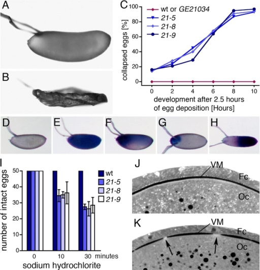Eggs derived from Cad99C mutant females have a defective VM. (A) A wild-type D. melanogaster egg. (B) A collapsed egg from a Cad99C21-5 mutant female. (C) Eggs from Cad99C mutant mothers dehydrated over time. By mid-embryogenesis >90% of the eggs were collapsed. Eggs from the P insertion line GE21034, the progenitor of the Cad99C mutant lines, did not collapse. Numbers of examined eggs: wild type (wt), n = 468; GE21034, n = 367; Cad99C21-5, n = 325; Cad99C21-8, n = 375; Cad99C21-9, n = 245. (D) Trypan blue did not penetrate wild-type eggs but stained to a variable degree eggs from Cad99C21-9 (E–G) and Cad99C21-5 (H) mutant mothers. In most eggs, the anterior region was stained strongest. (I) In contrast to normal eggs, 50% of the eggs from Cad99C mutants had disintegrated in sodium hydrochlorite after 30 min. The histogram shows mean values and SDs based on four experiments. (J and K) Histological sections of stage 11 egg chambers show that the VM is continuous in wild type (J) but has gaps in a Cad99C21-8 mutant follicle (K, arrows). Oc, oocyte; Fc, follicle cells.