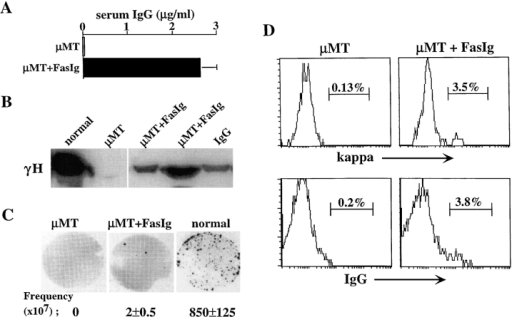 Blocking the Fas/FasL interaction in vivo rescues isotype-switched B cells in μMT mice. A neutralizing recombinant FasIg protein was purified and engineered into slow releasing PLGA microcapsules. The microcapsules were administered to μMT mice by intramuscular injection of 10 mg/mouse every 10 d for 8 wk. Mice were first injected at 2 wk of age. Control μMT mice were injected with empty microcapsules. 10 d after the last injection, mice were killed. (A) Serum samples from the mice were assayed for the presence of IgG by ELISA. Results are mean ± SEM of three mice in each group. (B) Detection of γH chain in serum samples by Western blotting. Normal serum sample dilution is 1:10. Samples of μMT mice (control and FasIg-treated) were not diluted. Purified IgG was used as control. Line indicates where irrelevant lane was removed digitally. (C) Quantitation of IgG-producing cells in spleens of μMT mice treated with FasIg relative to μMT and normal mice by ELISPOT. Representative ELISPOT membranes and the calculated frequency of IgG-producing cells per 107 spleen cells are shown. Results are mean ± SEM of three mice in each group. (D) FACS® analysis for κ and IgG expression. Spleen cells from the treated mice were stained for CD19, B220, κ, and IgG. Analysis for κ and IgG expression was performed on 10,000 gated CD19+/B220+ cells. The results shown are representative of eight injected mice in three different experiments.