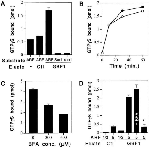 (His)6-GBF1 is a BFA-resistant ARF-GEF. (A) Fractions enriched in (His)6-GBF1 display a GEF specific for ARFs. Identical volumes (5 μl) of the 50 mM imidazole eluate fractions from the control (vector alone) and (His)6GBF1 extracts were assayed for loading of small GTPases with GTPγS in 1 μM of free Mg2+ as described in Materials and Methods. Purified ARF1/3, Sar1p, or rab1b (1 μM each) were used as substrate as indicated. Each bar represents the average of three determinations ± SD. (B) GEF activity of GBF1 towards ARF1/3 is BFA resistant. Time course of ARF1/3 nucleotide exchange using the 50 mM imidazole eluate fraction from the (His)6GBF1 extracts. Assays were performed at 1 μM of free Mg2+ either in the presence (closed circle) or absence (open circle) of BFA (360 μM). Similar results were obtained with several independent preparations. (C) The purified Sec7 domain of Sec7 is a BFA-sensitive ARF-GEF. Assays were performed as described in Materials and Methods with the indicated amounts of BFA. Each bar represents the average of three determinations ± SD. (D) GBF1 is a BFA-resistant GEF specific for ARF5 at 1 mM Mg2+. Identical volumes (5 μl) of the 50 mM imidazole eluate fractions from the control (empty vector) and (His)6GBF1 extracts were assayed for loading of ARF1/3 or ARF5 in assays containing 1 mM Mg2+. BFA was used at a concentration of 600 μM. One set of reactions was performed with the GBF1 fraction inactivated (asterisk) by incubation at 95°C for 5 min. Each bar represents the average of three determinations ± SD.