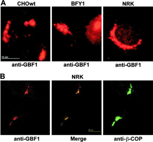 GBF1 colocalizes with β-COP to the Golgi complex. (A) Wild-type CHO (left), mutant BFY-1 (center), and NRK (right) cells were permeabilized and incubated with rabbit serum H154 (anti-GBF1) and stained with a Texas red–conjugated secondary antibody. Images obtained by standard epifluorescence microscopy are presented. (B) NRK cells were permeabilized and incubated with rabbit serum H154 (anti-GBF1) and mAb m3A5 (anti–β-COP) and stained with FITC- (β-COP) and Texas red– (GBF1) conjugated secondary antibodies. The images presented were obtained by confocal microscopy. (Left) GBF1 signal; (right) β-COP signal; and (center) merge of both images. Bars, 10 μm.