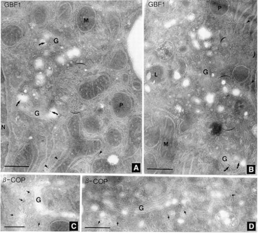 GBF1 localizes primarily to a tubular network proximal to Golgi stacks. Rat liver frozen cryosections were processed, labeled, and photographed as described in Materials and Methods. (A) anti-GBF1 serum H134 (diluted 1:2). (B) anti-GBF1 serum H133 (diluted 1:5). (C and D) mouse anti–β-COP (diluted 1:20). (Arrowheads) Gold particles labeling ER cisternae. (Arrows) Gold particles labeling tubular networks proximal to the Golgi complex. (Curved arrows) Gold particles labeling Golgi stacks. (Brackets) High concentration of gold particles labeling tubular networks proximal to the Golgi complex. M, mitochondria; P, peroxisome; and G, Golgi stack. Bars, 400 nm.