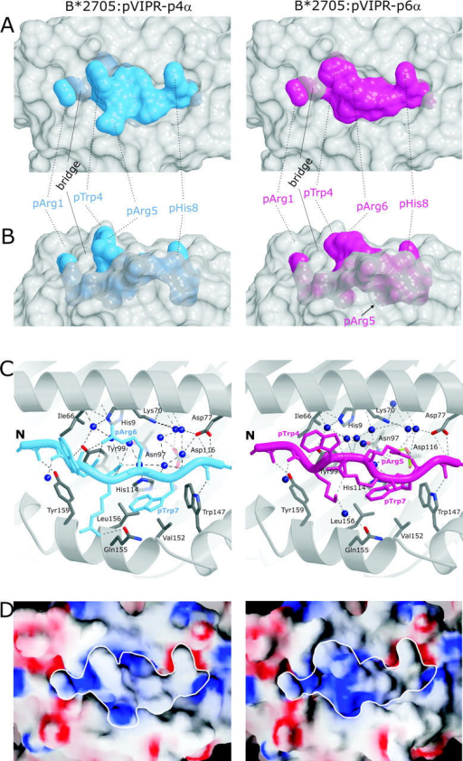 Molecular surfaces and contacts of pVIPR in the p4α and p6α conformations. (A and B) Molecular surfaces show the central part of the B*2705 peptide binding groove in gray and the pVIPR peptide in the p4α and p6α conformations (color coded as in Fig. 1 [A and B]). The binding groove has been rendered semi-transparent, allowing also the inspection of buried side chains exhibiting conformational differences. In A, the view is TCR-like, straight onto the peptide, whereas in B (rotated by 90° about a horizontal axis), the view is through the α2 helix. The center section of the peptide shows clear shape differences between the p4α and p6α conformations. (C) pVIPR hydrogen bonding in p4α and p6α, color coded as in Fig 1 (A and B). Only side chains with different binding modes (residues p3–p7) are shown. The binding groove's secondary structure is represented as gray spirals (α helices) and arrows (β strands) together with selected interacting residues (carbon atoms, gray; oxygens, red; and nitrogens, blue). Hydrogen bonds are depicted as black broken lines, the pArg5–Asp116 bidentate salt bridge is depicted as green dotted lines, and water molecules are depicted as dark blue spheres. (D) Electrostatic surfaces of both pVIPR conformations. Red indicates negative, blue indicates positive surface charge, and gray areas are uncharged. The view is looking straight onto the binding groove as in A. The border of the peptides is highlighted in white.