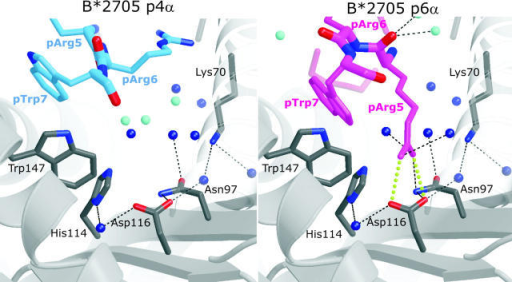Conformation-dependent peptide contacts with F-pocket residues. The F-pocket architecture and intermolecular interactions in B*2705:pVIPR-p4α (left) and -p6α (right), with relevant part of the peptide shown (same color code as in Fig. 1 [A and B]). Fully occupied water molecules are shown in dark blue and partially occupied ones (related to a specific peptide conformation) are in turquoise. The space occupied by pArg5-p6α is filled by water molecules in the p4α binding mode. The view is looking along the binding groove with the peptide COOH terminus in front.