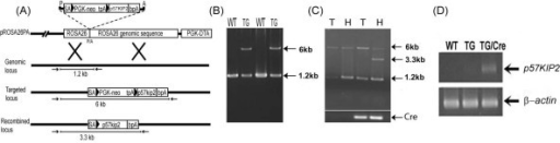 Creation of a transgenic mouse with forced expression of p57Kip2 in a cre dependent manner. (A) Recombination scheme displaying the structure of the targeting vector, genomic R26 locus, targeted locus after homologous recombination and recombined locus after cre activation (B) PCR genotype analysis of tail genomic DNA (gDNA) (C) PCR analysis shows that cre-induced recombination is restricted to the heart, and occurs only in the presence of cre recombinase. T= tail gDNA, H = heart gDNA (D) RT-PCR analysis demonstrates robust expression of p57Kip2 message in adult transgenic hearts in the presence of cre recombinase, compared to barely detectable levels in the absence of cre recombinase.