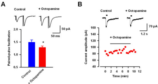Presynaptic action of octopamine in transgenic mice. (A) Representative traces (upper) and pooled results (lower) showing that octopamine significantly decreased pair-pulse facilitation in transgenic mice. (B) Octopamine (50 μM) had no effect on puff-applied glutamate-induced current in transgenic mice.