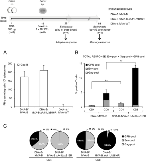 HIV-1-specific adaptive immune responses induced by MVA-B and MVA-B ΔA41L/ΔB16R.(Upper) Scheme of the DNA prime/MVA-boost immunization protocol used in this study. BALB/c mice were primed i.m with 100µg of DNA-B (50µg of pCMV-BX08gp120+50µg of pCDNA-IIIBGPN), or control DNA and two weeks later infected i.p with 1×107 PFU of MVA-B, MVA-B ΔA41L/ΔB16R or MVA-WT. (A) Vaccine-elicited T-cell responses of splenocytes 11 days after the last immunization with MVA-B, MVA-B ΔA41L/ΔB16R or MVA-WT, in a fresh IFN-γ ELISPOT assay following stimulation with HIV-1 peptide Gag-B. Bars represent the total number of Gag-B-specific IFN-γ secreting cells per 106 splenocytes in each group. Standard deviations from triplicate cultures are shown. *, represent statistically significant differences between groups, p<0.05. A representative experiment out of two is shown. (B) Total HIV-1-specific CD4+ and CD8+ T-cell immune responses induced in mice 11 days after the last immunization with DNA-B/MVA-B or DNA-B/MVA-B ΔA41L/ΔB16R, measured by flow cytometry using ICS assay, following stimulation with different HIV-1 peptide pools that covered the entire HIV-1 sequence present in the poxvirus vector (Env-pool, Gag-pool and GPN-pool). The percentage of HIV-1-specific CD4+ and CD8+ T-cell responses directed against Env-pool, Gag-pool and GPN-pool is indicated by different color codes, and the frequencies were calculated as the addition of single, double and triple positive T cells for the secretion of IFN-γ, TNF-α and IL-2; thus, each responding cell was counted once. The background of the unstimulated controls was subtracted in all cases, and only significant values over the background are represented. Standard deviations are shown. **, represent statistically significant differences between groups, p<0.005. (C) The pie charts summarize the data of panel B, with each set representing the fraction of CD4+ or CD8+ T cells specific for Env-pool, Gag-pool and GPN-pool.