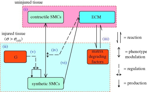 A system diagram of the components (in boxes) and processes (arrows) involved in the model of smooth muscle cell behaviour. (i) The uninjured artery wall is quiescent and contains contractile smooth muscle cells (cSMCs) and extracellular matrix (ECM). Injury induces cell death and tissue damage/rupture. (ii) In response, inflammatory cells infiltrate the injured region and produce matrix degrading factors and growth factors. (iii) Matrix degradation of ECM induces (iv) SMCs to modulate their phenotype from contractile to synthetic (sSMC). These sSMCs proliferate in response to growth factors (G) (v) and express ECM (vi). SMCs can resort back to the contractile phenotype if the ECM is fully restored.