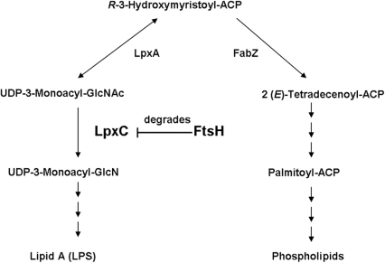 Schematic representation of biosynthetic pathways of membrane lipid components.Functions of FtsH in the regulation of biosynthesis of LPS and phospholipids are drawn. ACP, acyl carrier protein; GlcNAc, N-acetylglucosamine; GlcN, glucosamine.