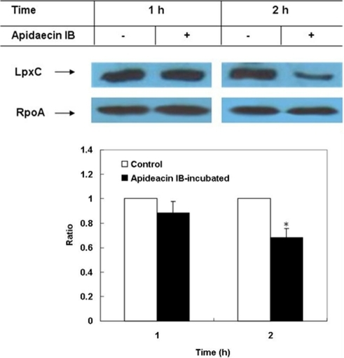 Western blot analysis of LpxC in E. coli incubated with apidaecin IB.The relative densitometric intensity of LpxC to RpoA in cells without incubation of apidaecin IB was adjusted to 1 and that in cells incubated with apidaecin IB was normalized accordingly. Asterisk indicates p<0.05.