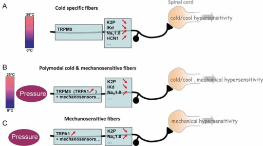 Schematic representation of oxaliplatin-mediated changes in cold and mechanically sensitive primary afferent fibres (adapted from (Madrid et al, 2009))Monomodal cold-specific fibres use TRPM8 as the main detector of innocuous cool and noxious cold stimuli. Oxaliplatin modifies their excitability by decreasing inhibitory potassium channels and increasing excitatory channels with a prominent effect on HCN1.Polymodal cold and mechanosensitive fibres affected by oxaliplatin also use TRPM8 as cold detector in addition to yet to be identified excitatory mechanosensors. Distinct from cold specific fibres, HCN channels are not present in these neurons reflecting the lack of ivabradine effect in mechanical pain and the incomplete reversal of cold tolerance.Mechanosensitive fibres with up-regulated TRPA1 and down-regulated K2P in their mechanosensory machinery convey oxaliplatin-mediated mechanical hypersensitivity.