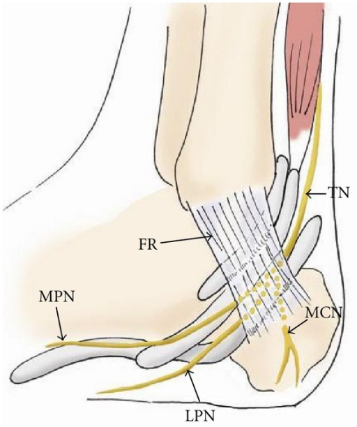 The Drawing Of The Medial Aspect Of The Ankle Showing T Open I
