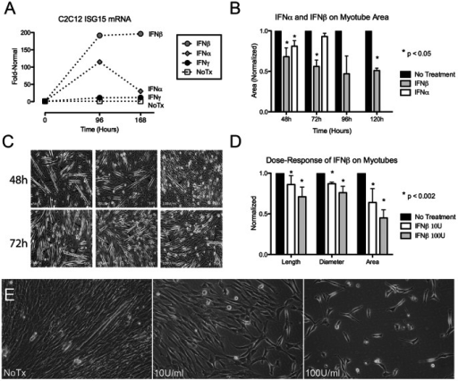 Effects of type 1 IFNs on mouse C2C12 and human muscle cells.(A) IFN-β results in sustained marked expression of ISG15 (196-fold increased at Day 7). (B) Sustained toxicity of IFN-β on myotube area. (C–E) Dose-dependent effects of IFN-β 10 U/ml and 100 U/ml on myotubes. (C) Dose-dependent reduction in numbers and lengths of C2C12 myotubes at 48 h and 72 h. Arrows indicate myotubes. (D) Dose-dependent reduction in C2C12 myotube length, diameter, and area at 72h. (E) Dose-dependent effect of IFN-β on 72 h human skeletal muscle with marked inhibition of myotube formation at 100 U/ml.